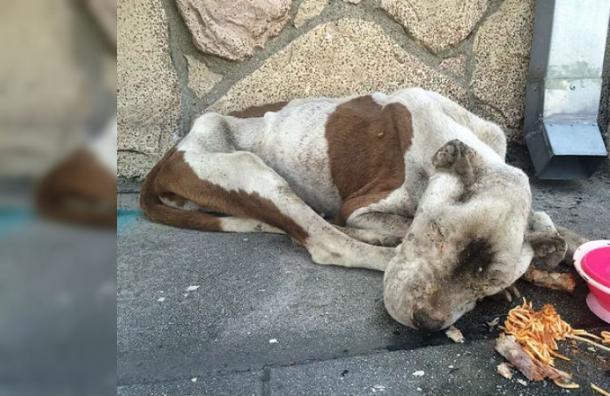 La increíble transformación de un perro desnutrido y moribundo tras encontrar un hogar